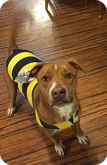 Labrador Retriever/Staffordshire Bull Terrier Mix Dog for adoption in Marietta, Georgia - Bo Dog