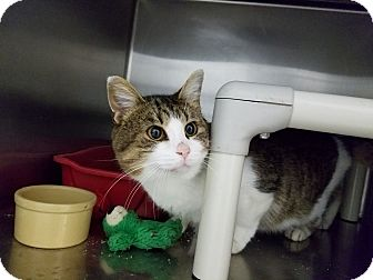 Domestic Shorthair Cat for adoption in Elyria, Ohio - Wiley