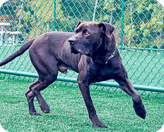 Labrador Retriever/Terrier (Unknown Type, Medium) Mix Dog for adoption in Lincolnton, North Carolina - Yogi