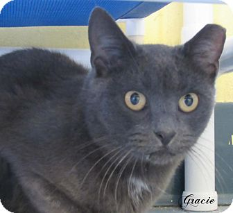 Domestic Shorthair Cat for adoption in Jackson, New Jersey - Gracie