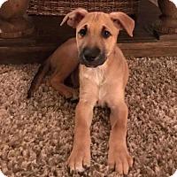 Adopt A Pet :: Frank the Tank - Sacramento, CA