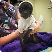 Adopt A Pet :: Lorax - Chicago, IL