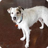 Adopt A Pet :: Asher - San Antonio, TX