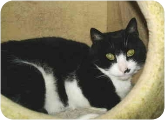 Domestic Shorthair Cat for adoption in Colmar, Pennsylvania - Berkey
