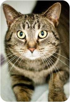 Domestic Shorthair Cat for adoption in Belleville, Michigan - Susie