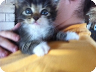 Domestic Mediumhair Kitten for adoption in Weatherford, Texas - Scarlet