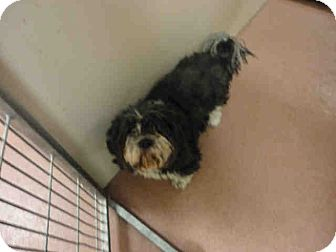 Lhasa Apso Mix Dog for adoption in Ogden, Utah - Torrance