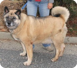 Akita Dog for adoption in Hayward, California - Mojo
