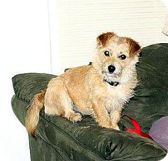 Cairn Terrier Mix Dog for adoption in Sherman, Connecticut - Macy Betty's Dog