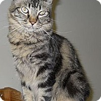 Domestic Mediumhair Cat for adoption in Ridgecrest, California - Gina