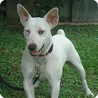 Adopt A Pet :: Spud McKenzie - Kingwood, TX