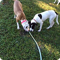 Adopt A Pet :: Elsie - Williston, FL