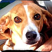 Adopt A Pet :: Candy Cane - Johnson City, TX