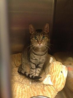 Domestic Shorthair Cat for adoption in Whitestone, New York - Marie