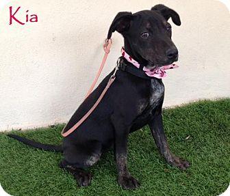 Labrador Retriever Mix Dog for adoption in San Diego, California - Kia