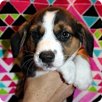 Adopt A Pet :: Scooby-Doo - Mansfield, TX