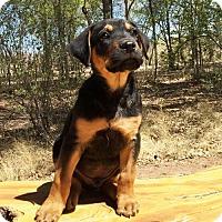 Adopt A Pet :: Darling Mr Niles - Albuquerque, NM