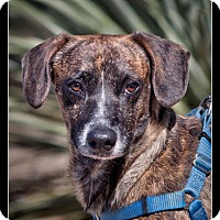 Adopt A Pet :: Brandow - Wickenburg, AZ