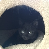 Domestic Shorthair Kitten for adoption in Toledo, Ohio - Monty Rose