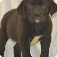 Adopt A Pet :: M Pup Monah - Baltimore, MD