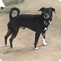 Jack Russell Terrier/Chihuahua Mix Dog for adoption in Dowagiac, Michigan - BOOTS