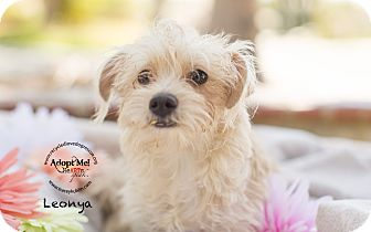 Poodle (Toy or Tea Cup)/Maltese Mix Puppy for adoption in Inland Empire, California - LEONYA