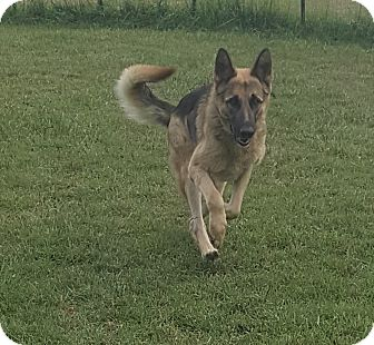 German Shepherd Dog Dog for adoption in Mocksville, North Carolina - Canela
