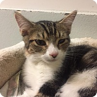Domestic Shorthair Kitten for adoption in Westminster, California - Grinder
