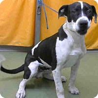 Pit Bull Terrier Mix Puppy for adoption in San Bernardino, California - URGENT on 10/14 @DEVORE