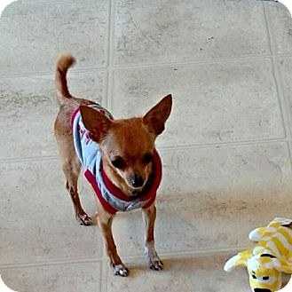 Chihuahua Mix Dog for adoption in Woodbridge, Virginia - Mickey M