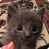 Adopt A Pet :: Stormy - Merrifield, VA
