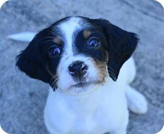 English Setter Puppy for adoption in New Braunfels, Texas - Mick