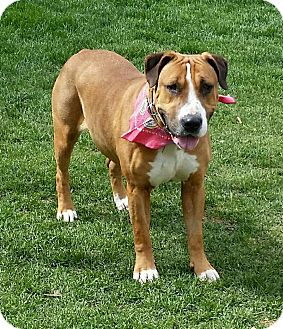 Coonhound (Unknown Type) Mix Dog for adoption in Smithtown, New York - Toogie