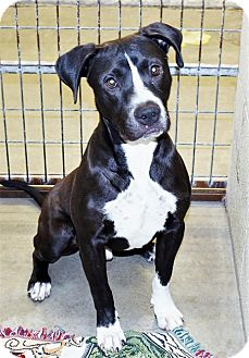 Pit Bull Terrier Mix Dog for adoption in San Jacinto, California - Jack