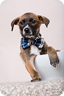 Shepherd (Unknown Type) Mix Puppy for adoption in Houston, Texas - Dyson
