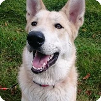 Collie/Husky Mix Dog for adoption in London, Ontario - Bellini