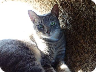 Domestic Shorthair Cat for adoption in Waller, Texas - Kelvin