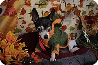 Chihuahua Mix Dog for adoption in Houston, Texas - Phyllis