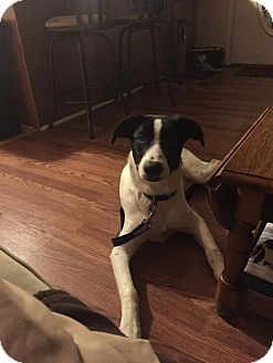 Hound (Unknown Type) Mix Dog for adoption in chicago, Illinois - Anthony