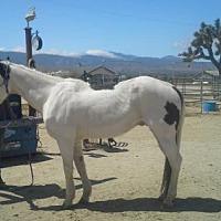 Adopt A Pet :: Cowboy - Phelan, CA
