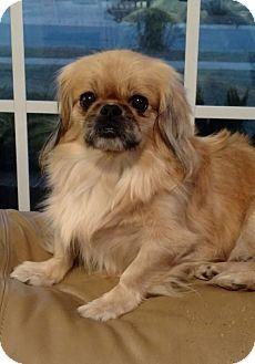 Pekingese Dog for adoption in Mary Esther, Florida - Sasha