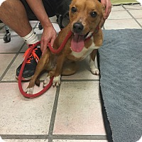 Adopt A Pet :: Stella - Newburgh, IN