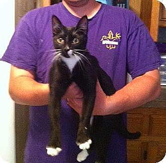 Domestic Shorthair Cat for adoption in Baton Rouge, Louisiana - Destiny