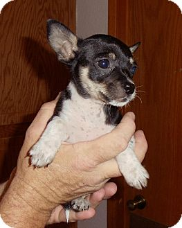 Chihuahua/Terrier (Unknown Type, Small) Mix Puppy for adoption in Grass Valley, California - Basil
