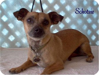 Chihuahua/Terrier (Unknown Type, Small) Mix Dog for adoption in Tucson, Arizona - Shotzie