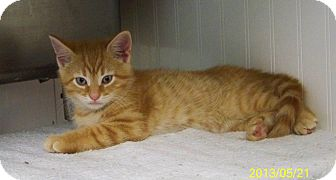 Domestic Shorthair Kitten for adoption in Dover, Ohio - Tator