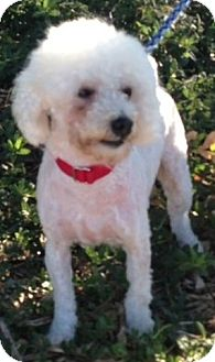 Poodle (Miniature) Dog for adption in Long Beach, California - Cody
