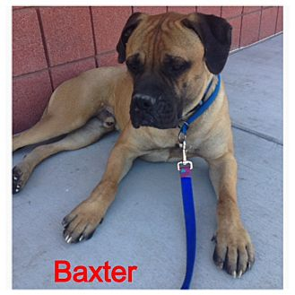Bullmastiff Dog for adoption in Phoenix, Arizona - BAXTER