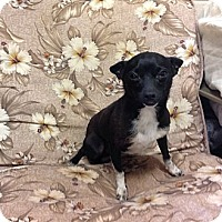 Adopt A Pet :: Tiny Tito - Homewood, AL