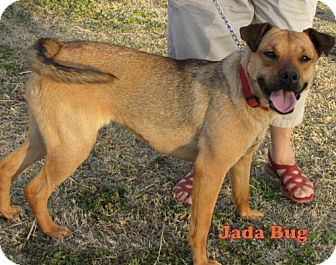 Boxer/Terrier (Unknown Type, Medium) Mix Dog for adoption in Weatherford, Oklahoma - Jada Bug
